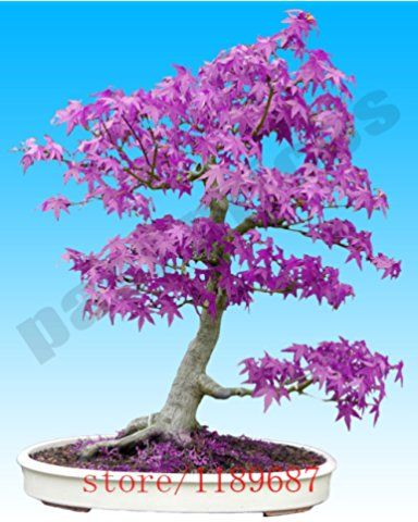 Blue Maple Bonsai Tree : maple, bonsai, 20pcs, Purple, Ghost, Japanese, Maple, Tree,, (Acer, Palatum),bonsai, Flower, Seeds,tree, Seeds,potted, Plant, Bonsai, Flower,, Seeds