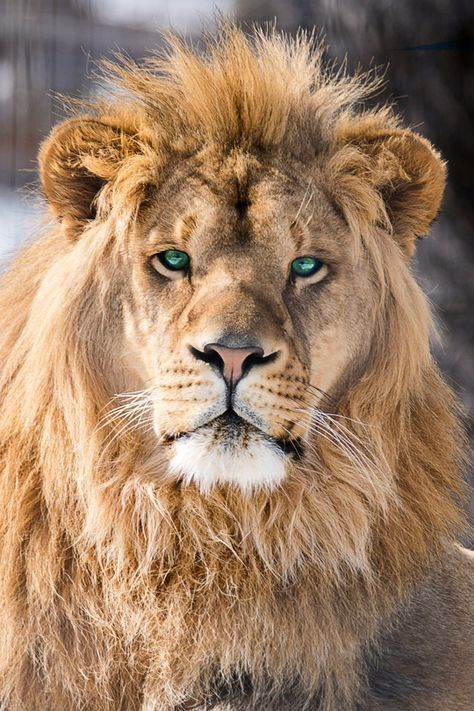 Pin By Alia Maisarah On Binatang Beautiful Lion Lion Pictures Majestic Animals