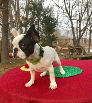 Axel Puppy French Bulldogs For Sale In Cranston Rhode Island