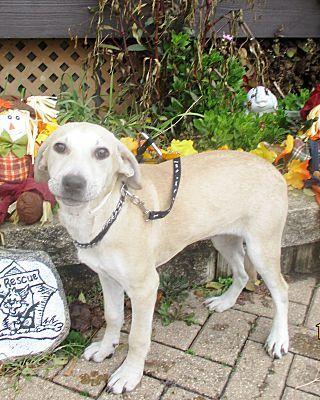 West Chicago Il Labrador Retriever Meet Drusi A Dog For
