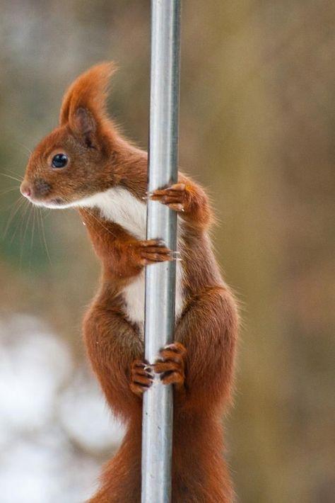 pole dance ecureuil