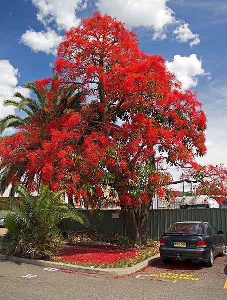 Brachychiton Acerifolius Tambien Conocido Como El Illawarra Flame Arbol Kurrajong Un Gran Arbol De Las Familia Ma Flame Tree Flowering Trees Australian Trees
