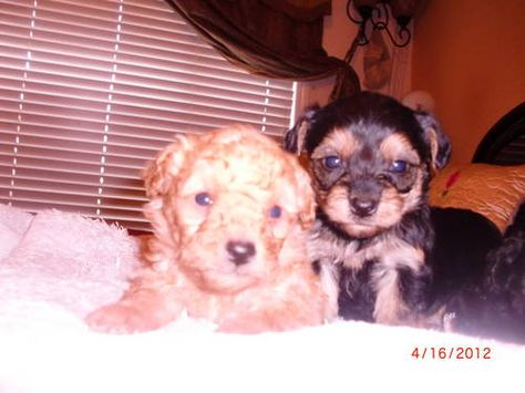 Cute Yorkiepoo And Poodles Dogs Cute With Images Yorkie Poo Furry Friend Dogs And Puppies