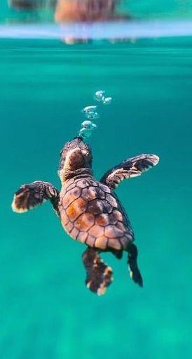 Sea turtles- always return to the beach- envious