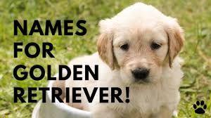 80 Top Golden Retriever Names Of 2020 Golden Retriever Names