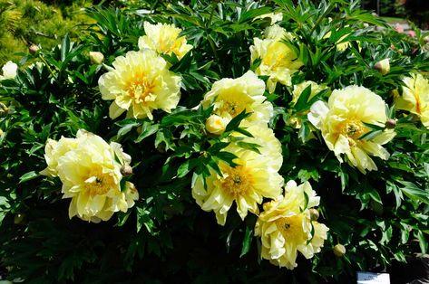 Flowers Photos Japanese Tree With Yellow Flowers Tree With Yellow Flowers Yellow Peonies Growing Peonies