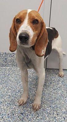 Angola In Beagle Meet Ferguson A Dog For Adoption Adopt Me