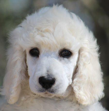 002 Phoenix S White Pink Polish Female White Standard Poodle