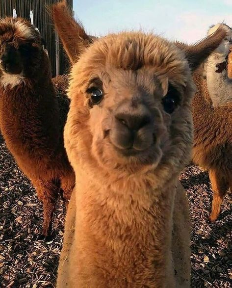 """""""It& Sooo Fluffy!"""" - These 20 cute alpaca photos will melt your heart! - """"It& sooo fluffy!"""" – These 20 cute alpaca photos will melt your heart! Alpacas, Cute Little Animals, Cute Funny Animals, Cute Alpaca, Alpaca Funny, Funny Llama, Happy Pictures, Amazing Pictures, Cute Animal Photos"""