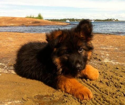 Toronto German Shepherd Puppies For Sale German Shepherd Puppies