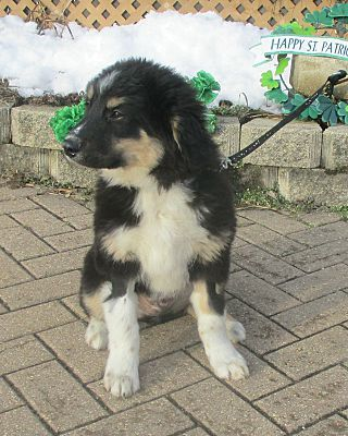 West Chicago Il Bernese Mountain Dog Meet Corcoran A Pet For Adoption Mountain Dogs Pet Adoption Bernese Mountain Dog