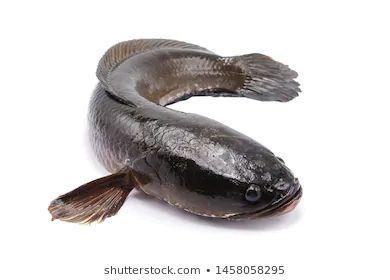 Snakehead Fish In 2020 Presentation Design Snakehead Fish Template Design