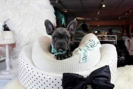 French Bulldog Puppies For Sale We Finance 90 Get Approved We Ship Very Safe Visit Our Website Teacuppup Bulldog Puppies French Bulldog Puppies For Sale
