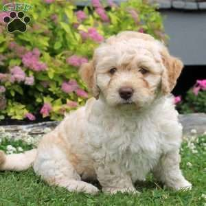 Mini Goldendoodle Puppy In Newmanstown Pa Goldendoodle Puppy Mini Goldendoodle Puppies Goldendoodle