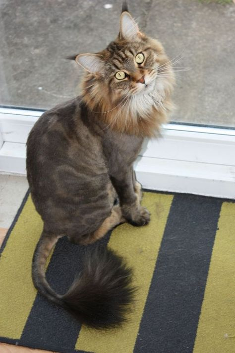 It is important to have the cat shaved by someone who is experienced and can handle the cat in a way that doesn't stress the animal out. The most popular style is the lion cut.