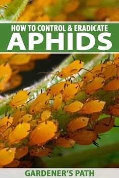 Aphids are a nightmare leaving plants shriveled and dying after an infestation. Learn natural ways to keep them from making your backyard their home plus ways to manage an onslaught without resorting to potentially dangerous chemical preparations. Weve got gardening solutions you can use here on Gardeners Path. #aphids #gardenpests #insects #gardenerspath