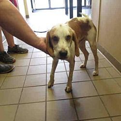 Ocala Florida Hound Unknown Type Meet Oliver A For