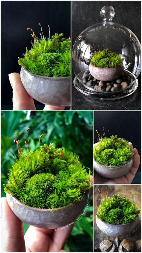 Miniature Moss Dish Garden Wabikusa with Display CaseYou can find Moss garden and more on our website.Miniature Moss Dish Garden Wabikusa with Display Case Succulent Terrarium, Succulents Garden, Garden Plants, Indoor Plants, Fairy Terrarium, Indoor Water Garden, Dish Garden, Home Vegetable Garden, Fence Garden