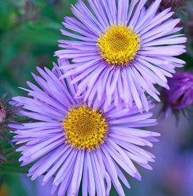 Mrs S T Wright Aster Photo By Richard Bloom Flower Garden Design Fall Flowers Garden Flower Garden