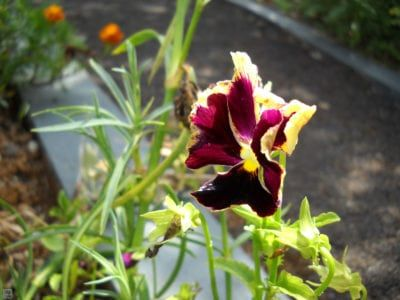 Common Pansy Problems What S Wrong With My Pansies In 2020 Pansies Pruning Roses Plants