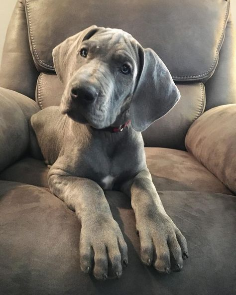 Puppies For Sale Purebred Great Dane Puppies For Sale Great