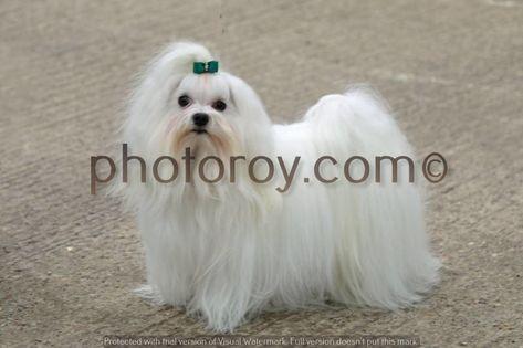Large Dog House Havanese Dog Dogloo Large Dog Houses For Sale