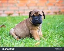 Image Result For Bullmastiff Chihuahua Mix Chihuahua Mix