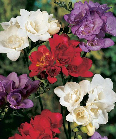 Patriotic Freesia Bulbs Set Of 20 Alternate Image 1 Spring Hill Nursery Bloom Patriotic