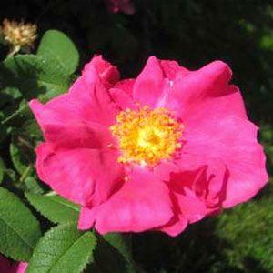 Rose Gallica Flower Essence Green Hope Farm With Images Flower Essences Flowers Essence