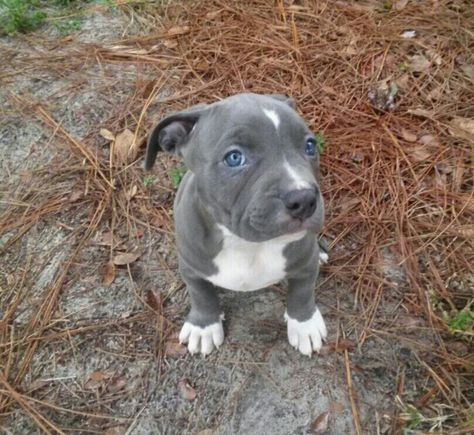 Pin On Blue Nose Pits