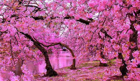 Wallpaper Taman Bunga Sakura Terindah Ideku Unik