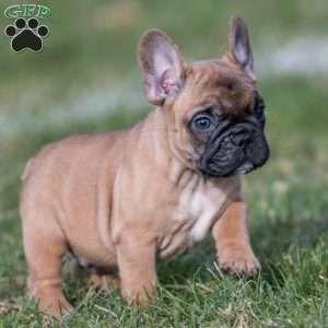 Ace French Bulldog Puppy For Sale In Pennsylvania Bulldog