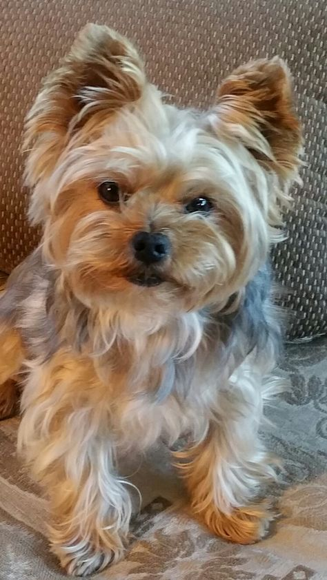 Gus Yorkshireterrier Yorkie Dogs Yorkshire Terrier Beautiful Dogs
