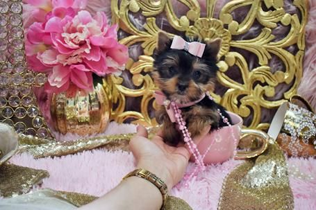 Teacup Yorkies For Sale Tea Cup Breeder Puppies Micro Tiny Teacup Yorkie For Sale Yorkshire Terrier Dog Yorkshire Terrier