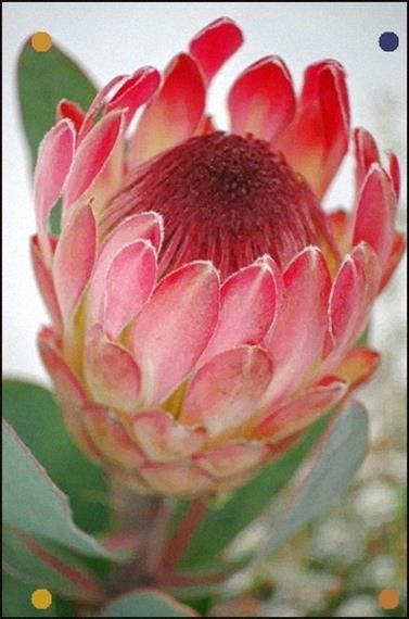 Pin On Protea Flower