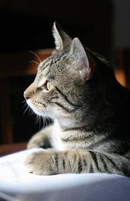 Tabby Cats Grey Cats And Kittens In 2020 Grey Tabby Cats Tabby Cat Beautiful Cats