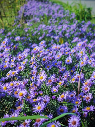 How To Divide Asters Tips For Spitting Aster Plants In The Garden Plants Flower Landscape Aster Flower