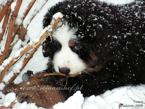 Bernenski Pies Pasterski Hodowla Von Romanshof Bernese Mountain Dog Cute Animals Bernese Mountain