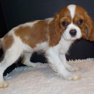 Crissy Cavalier King Charles Spaniel Puppy 578053 Puppyspot