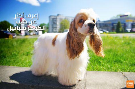 اعرف أكثر عن كلب الكوكر سبانيل Know More About Cocker Spaniel Popular Dog Breeds Dog Breeds Dogs