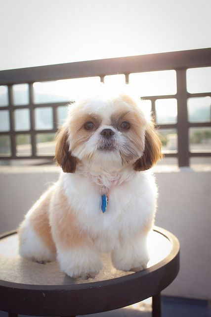 Shih Tzu Affectionate And Playful Shih Tzu Puppy Dog Haircuts