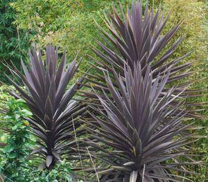 Cordyline Australis Purpurea Giant Purple Dracaena Landscape Landscape Design Plans Backyard Landscaping