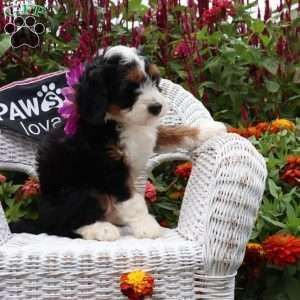 Cheyenne Mini Bernedoodle Puppy For Sale In Ohio Bernedoodle Puppy Puppies For Sale Bernedoodle