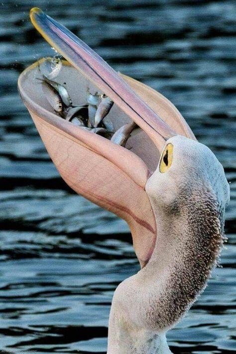 300 Pelican Ideas Pelican Pet Birds Beautiful Birds