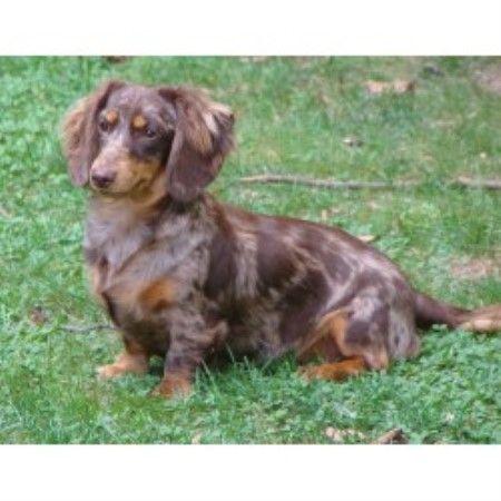 Doxiepaw Kennel Dachshund Breeder In Garrettsville Ohio