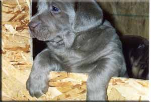 Silver Lab Silver Labs Silver Labrador Silver Labrador