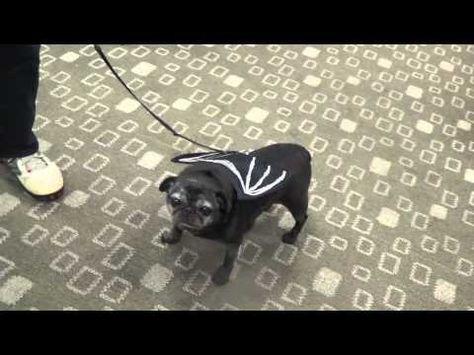 Halloween dog costme - fillmore ctr dog 10 31 2014