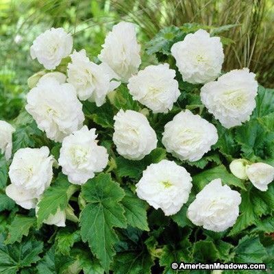Double White Begonia Showy Flowers Shade Loving Flowers Bulb Flowers