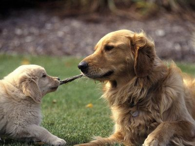 Look Kid Repin By Pinterest For Ipad Goldenretriever Dogs