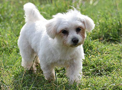 Pin Von M Hari Auf Pet Projects Hunde Patenschaft Malteser